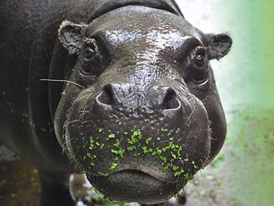 Dwergnijlpaard in dierentuin GaiaZOO