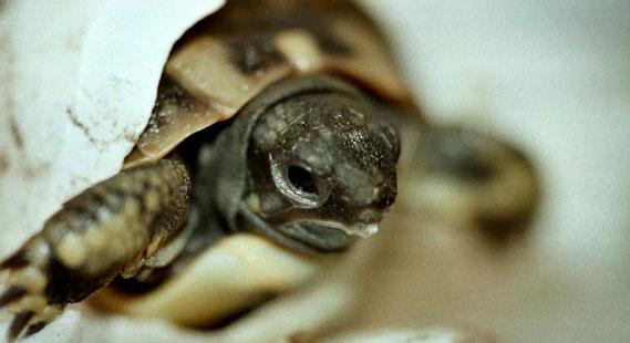 Schildpadje kruipt uit ei
